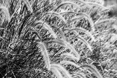 Herbe dans le vent noir et blanc Photo libre de droits