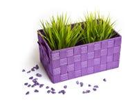 Herbe dans un pot de fleurs pourpre avec des pierres Photographie stock libre de droits