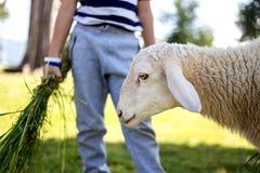Herbe de attente de moutons Photographie stock libre de droits