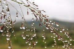 Herbe de baisse de pluie Photographie stock