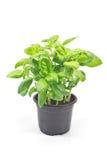Herbe de Basil dans le pot en plastique Images libres de droits