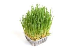 Herbe de blé Photos libres de droits