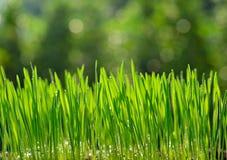 Herbe de blé Images libres de droits