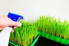 Herbe de blé Images stock