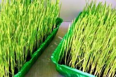Herbe de blé Image stock