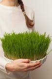 Herbe de blé Culture et jardinage urbains Images libres de droits