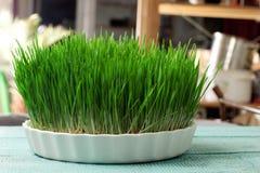 Herbe de blé Culture et jardinage urbains Image stock