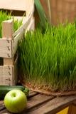 Herbe de blé Culture et jardinage urbains Photographie stock