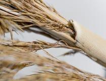 Herbe de blé de coton Photos libres de droits