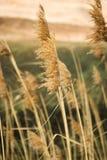 Herbe de blé soufflant dans la victoire Photos stock