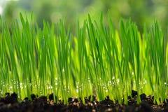 Herbe de blé Image libre de droits