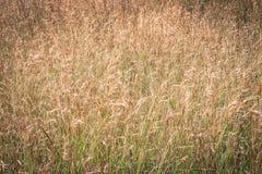 Herbe de Buffalo Image libre de droits