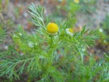 Herbe de camomille sauvage Image libre de droits