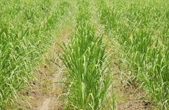 Herbe de canne à sucre Images libres de droits