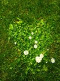 Herbe de coeur Photo stock