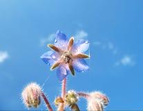 Herbe de concombre (officinalis L. de Borago) Photographie stock