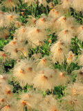Herbe de coton d'Alaska - plan rapproché Image stock