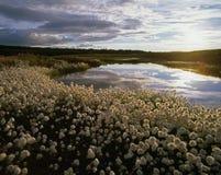 Herbe de coton de l'Alaska Photos stock