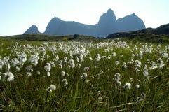 Herbe de coton sur une île en Norvège photos libres de droits