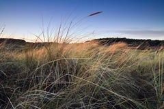 Herbe de dune de plan rapproché. Images stock