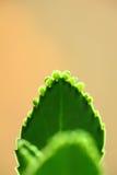 Herbe de Durée-centrale Photo stock