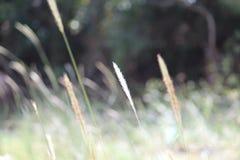 Herbe de Festuca photo libre de droits