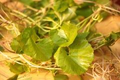 Herbe de feuille de cola de Gotu en Thaïlande Image stock