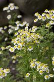 Herbe de Feverfew Images stock