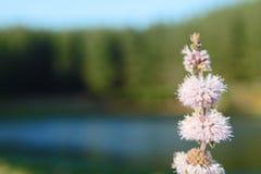 Herbe de fleur de Poleo Photos libres de droits