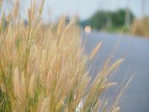 Herbe de fleur le long de la route pendant l'été Il semble lumineux et beau Avec des couleurs douces Photo stock