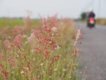 Herbe de fleur le long de la route pendant l'été Il semble lumineux et beau Avec des couleurs douces Images stock