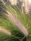 Herbe de fontaine pourpre dans l'élevage léger de lever de soleil lumineux dans Daytona du sud, FL Photos stock