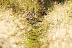 Herbe de Gleamy, piste pour piétons et rosée de matin Images stock