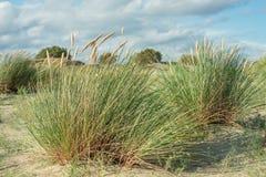 Herbe de gourbet Aga d'Ammophila Image stock