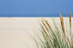 Herbe de gourbet au bord de la mer Images stock