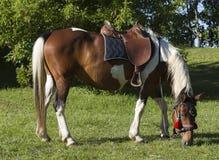 Herbe de grignotement sellée de cheval Images libres de droits