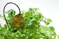 Herbe de jardin - coriandre Photos stock