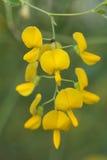 Herbe de jaune de fleur de Sesbania Photos stock