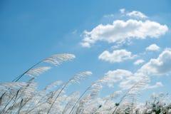 Herbe de Kans, spontaneum de saccharum dans le vent images libres de droits