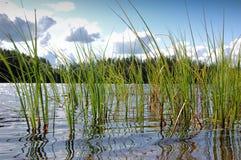 Herbe de lac Photographie stock libre de droits
