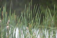 Herbe de Lunenburg Image stock