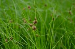 Herbe de marais Photo libre de droits