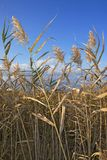 Herbe de marais Photographie stock libre de droits