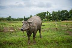 Herbe de mastication de Buffalo sur le champ Images stock