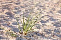 Herbe de mer verte sur la dune de sable Image libre de droits