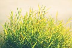 Herbe de nature et de fond blanc Photographie stock