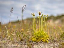 Herbe de Parnassus avec l'insecte en vallée dunaire photo stock