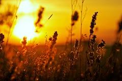 Herbe de pré au coucher du soleil Images libres de droits