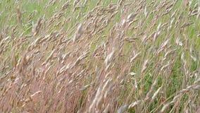 Herbe de pré sur le vent dans le jour ensoleillé, nature, Image libre de droits