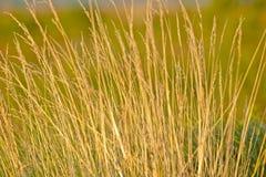 Herbe de prairie Photos libres de droits